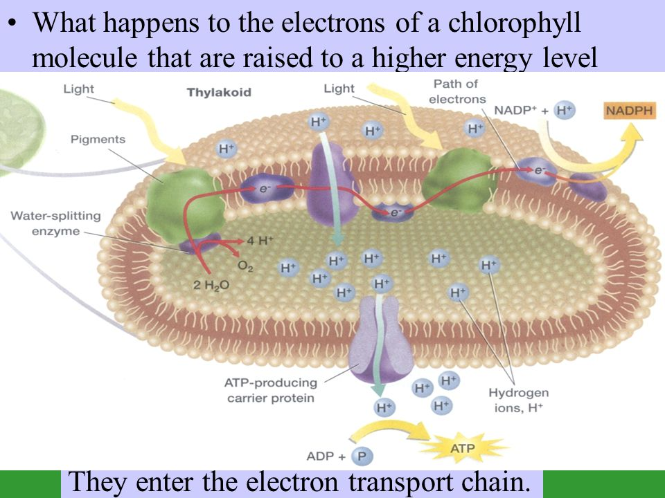 What happens to the electrons of a chlorophyll molecule that are raised to a higher energy level