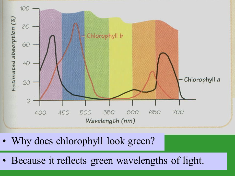 Why does chlorophyll look green