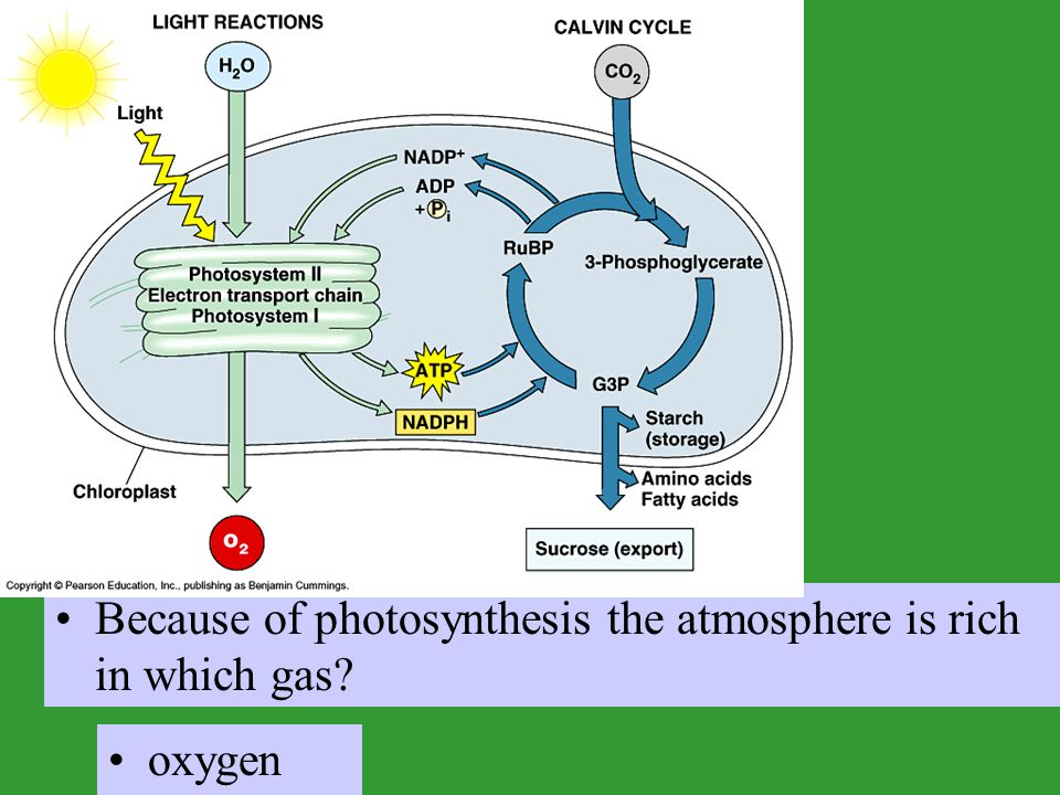 Because of photosynthesis the atmosphere is rich in which gas
