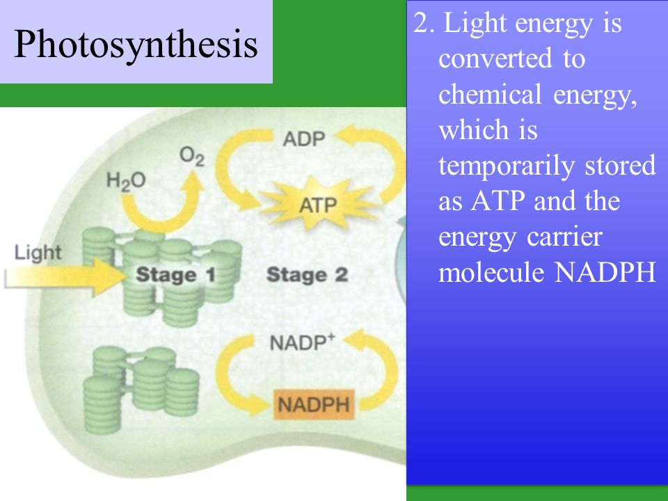 2. Light energy is converted to chemical energy, which is temporarily stored as ATP and the energy carrier molecule NADPH