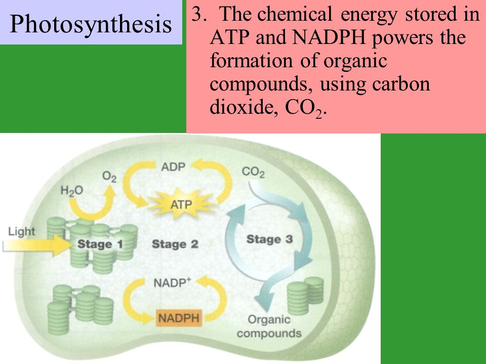 3. The chemical energy stored in ATP and NADPH powers the formation of organic compounds, using carbon dioxide, CO2.