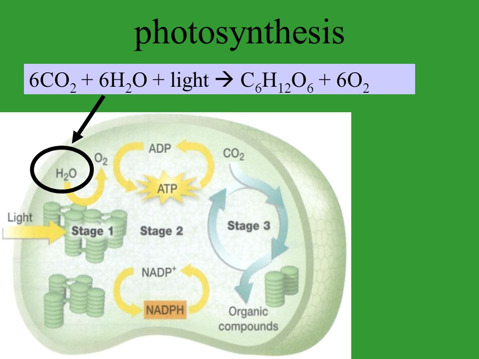 photosynthesis 6CO2 + 6H2O + light  C6H12O6 + 6O2