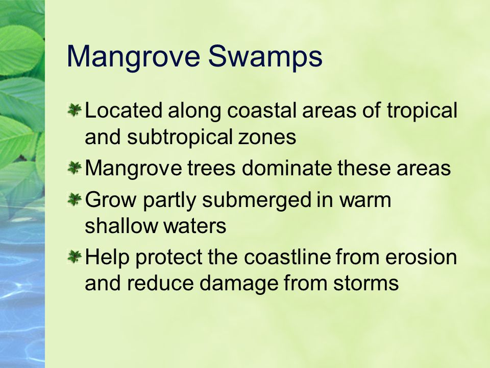Mangrove Swamps Located along coastal areas of tropical and subtropical zones. Mangrove trees dominate these areas.