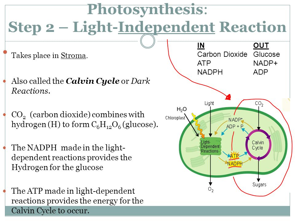 Photosynthesis: Step 2 – Light-Independent Reaction