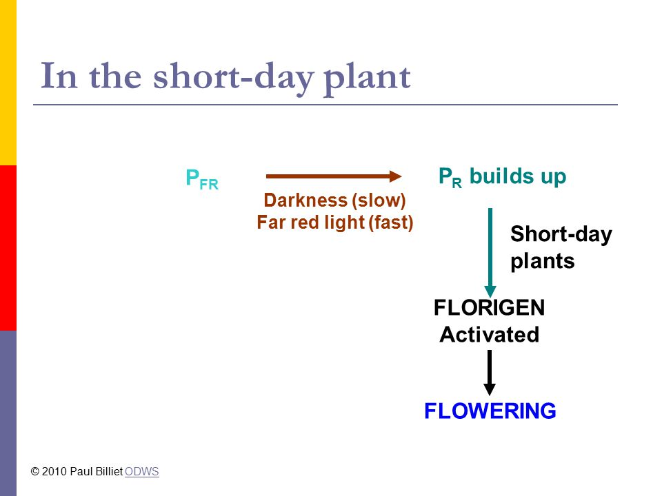 In the short-day plant PFR PR builds up Short-day plants FLORIGEN