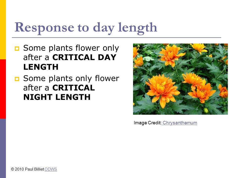 Response to day length Some plants flower only after a CRITICAL DAY LENGTH. Some plants only flower after a CRITICAL NIGHT LENGTH.