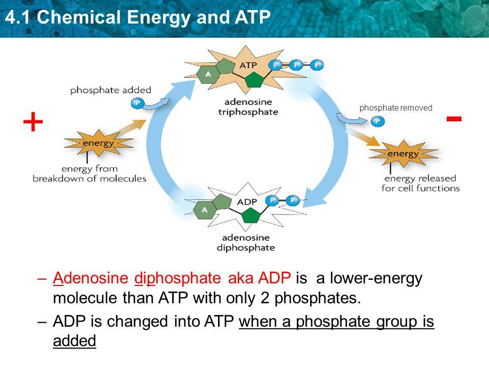 phosphate removed - + Adenosine diphosphate aka ADP is a lower-energy molecule than ATP with only 2 phosphates.