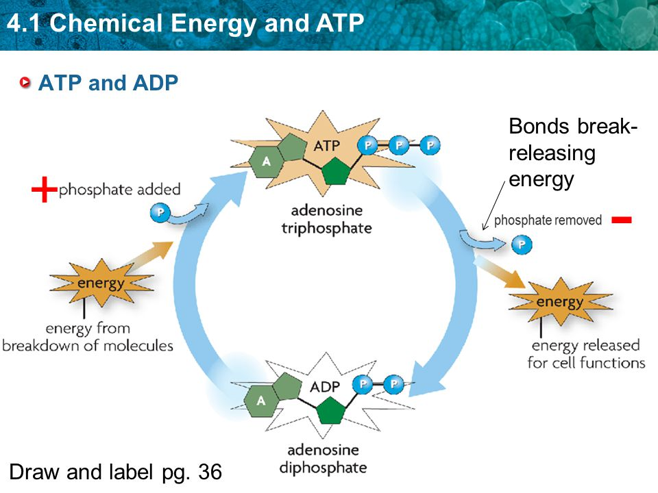 ATP and ADP Bonds break- releasing energy + - Draw and label pg. 36