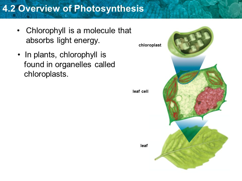 Chlorophyll is a molecule that absorbs light energy.