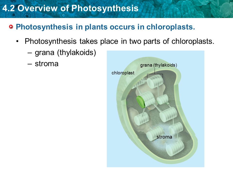 Photosynthesis in plants occurs in chloroplasts.