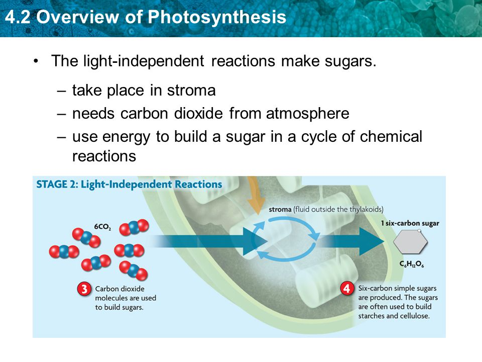 The light-independent reactions make sugars.