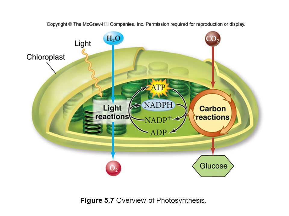 Figure 5.7 Overview of Photosynthesis.