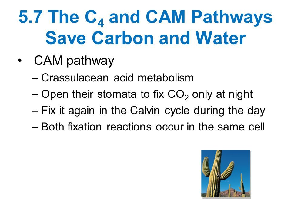 5.7 The C4 and CAM Pathways Save Carbon and Water