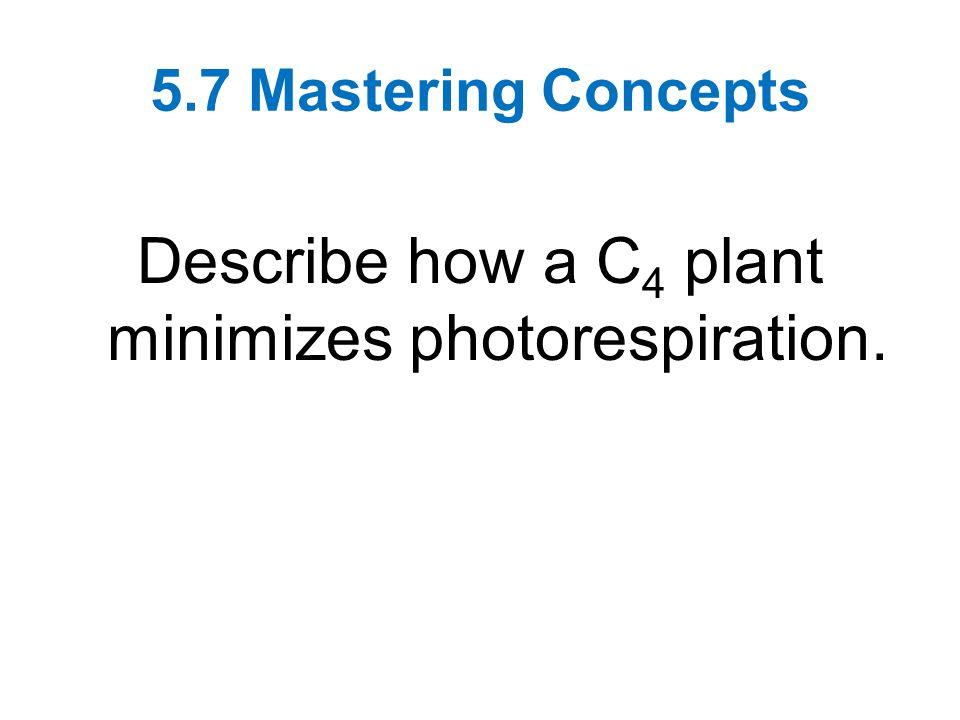 Describe how a C4 plant minimizes photorespiration.