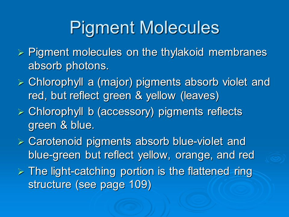 Pigment Molecules Pigment molecules on the thylakoid membranes absorb photons.
