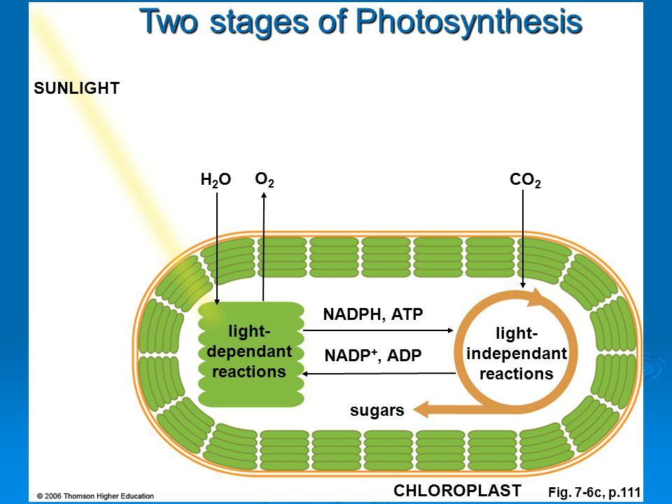 light-dependant reactions light-independant reactions