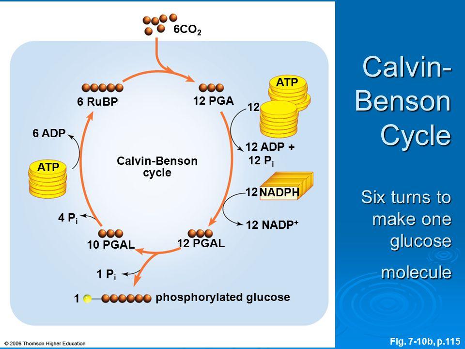 phosphorylated glucose