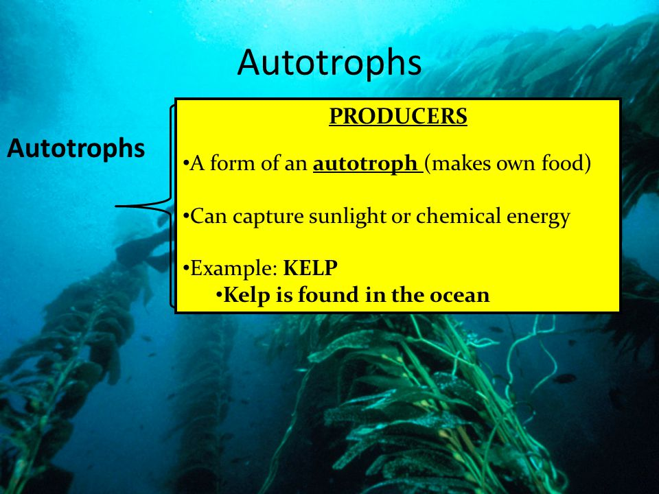 Autotrophs Autotrophs PRODUCERS