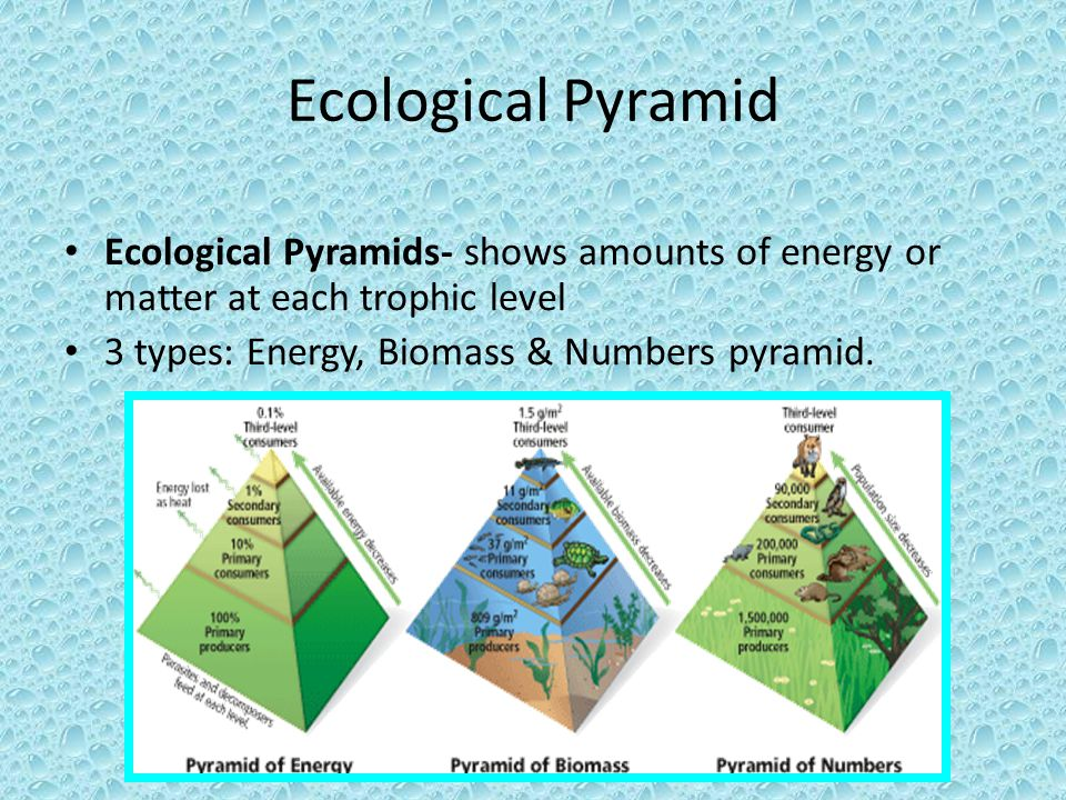 ecological pyramids An ecological pyramid is a graphical representation designed to show the biomass or biomass productivity at each trophic level in a given ecosystem biomass is the amount of living or organic matter present in an organism.