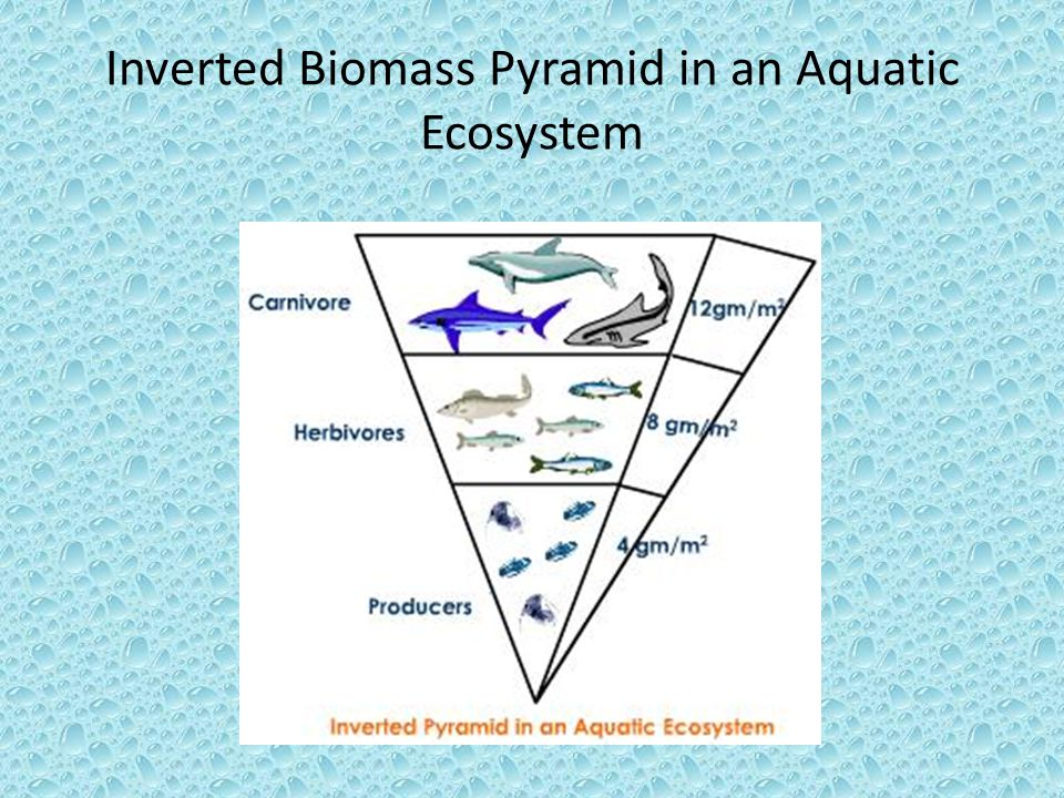 Inverted Biomass Pyramid in an Aquatic Ecosystem