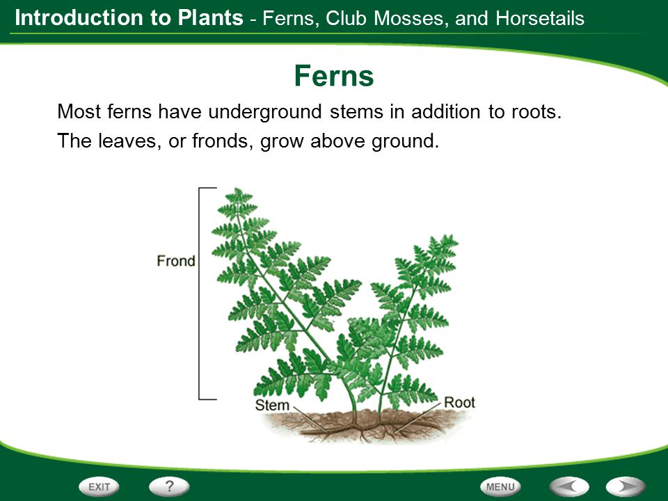 Ferns - Ferns, Club Mosses, and Horsetails