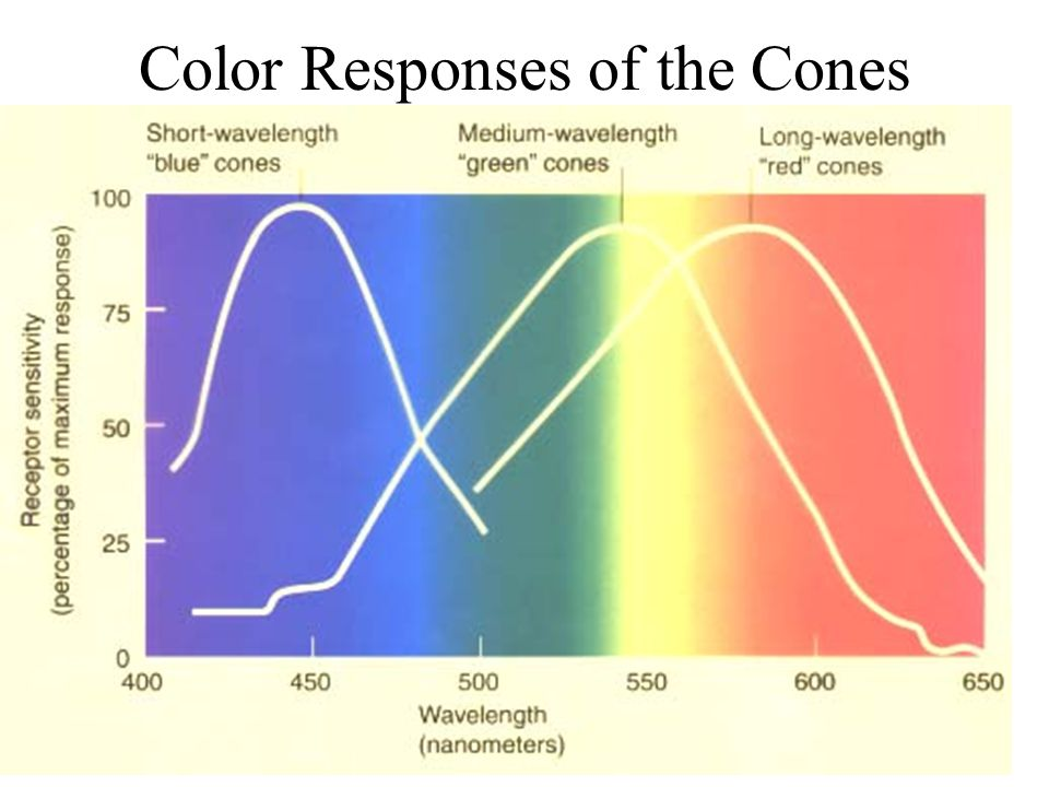 Color Responses of the Cones