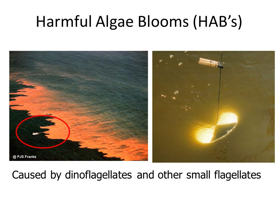 Harmful Algae Blooms (HAB's)