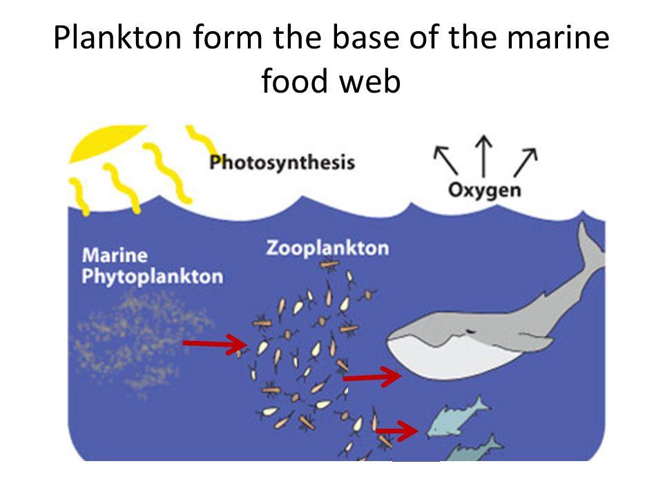 Plankton form the base of the marine food web