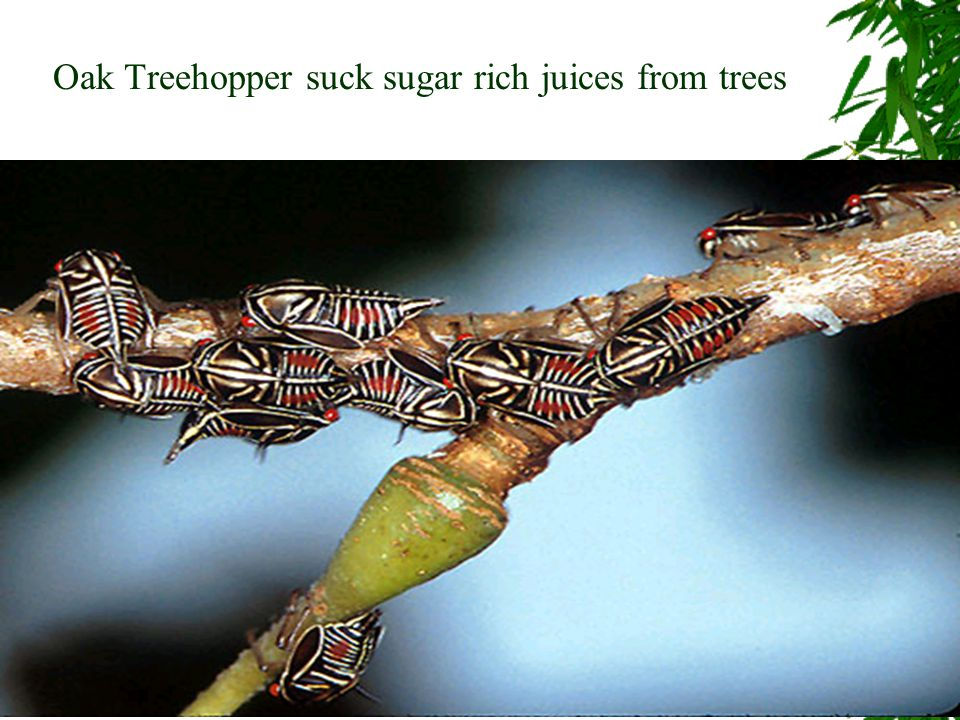 Oak Treehopper suck sugar rich juices from trees
