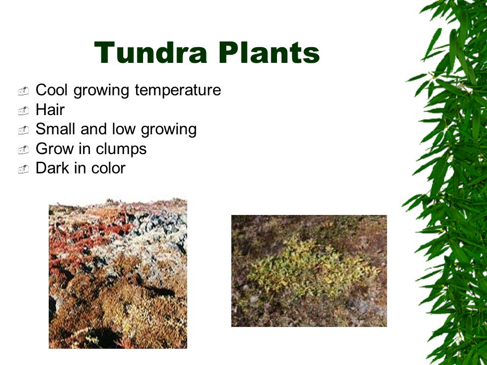 Tundra Plants Cool growing temperature Hair Small and low growing
