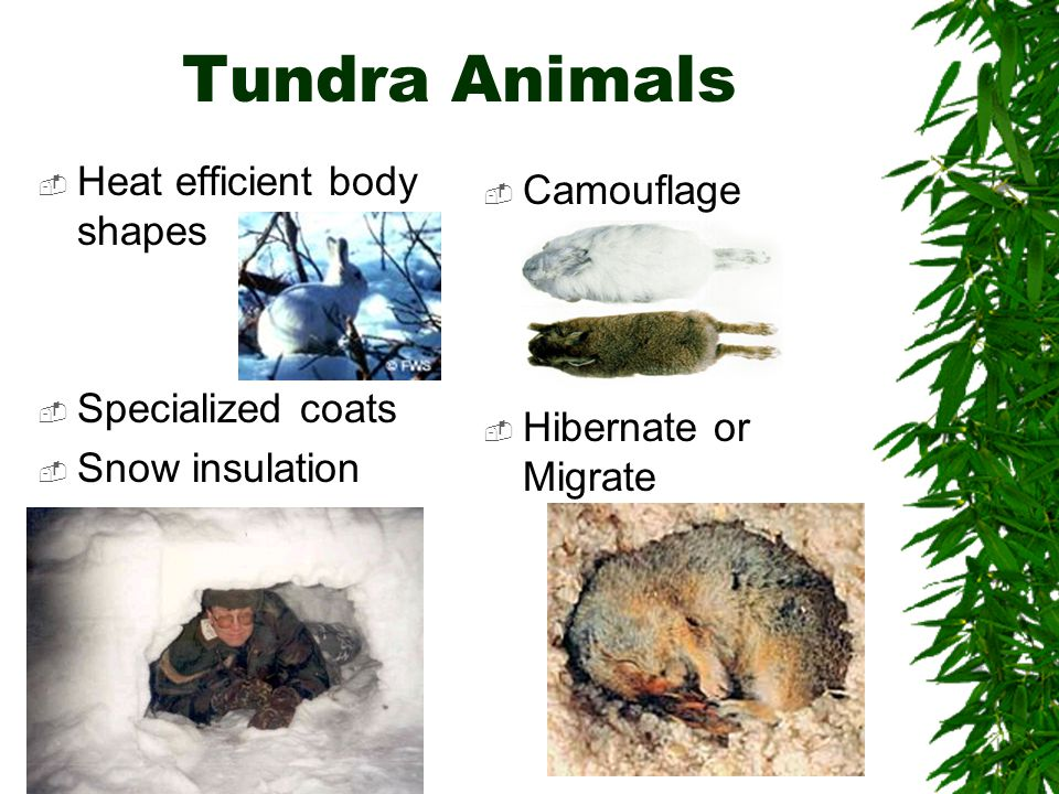 Tundra Animals Heat efficient body shapes Camouflage Specialized coats