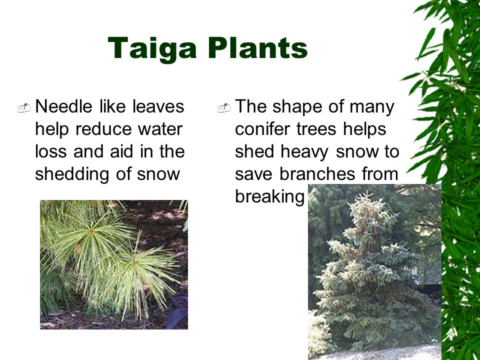Taiga Plants Needle like leaves help reduce water loss and aid in the shedding of snow.