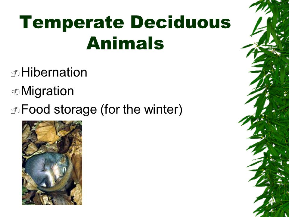 Temperate Deciduous Animals