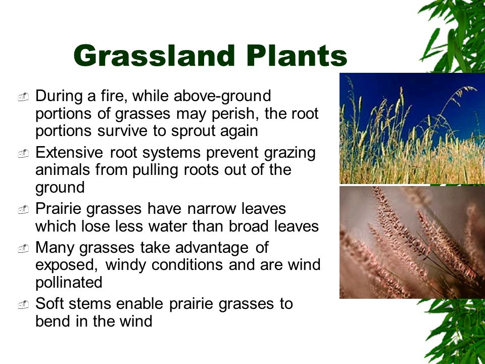 Grassland Plants During a fire, while above-ground portions of grasses may perish, the root portions survive to sprout again.