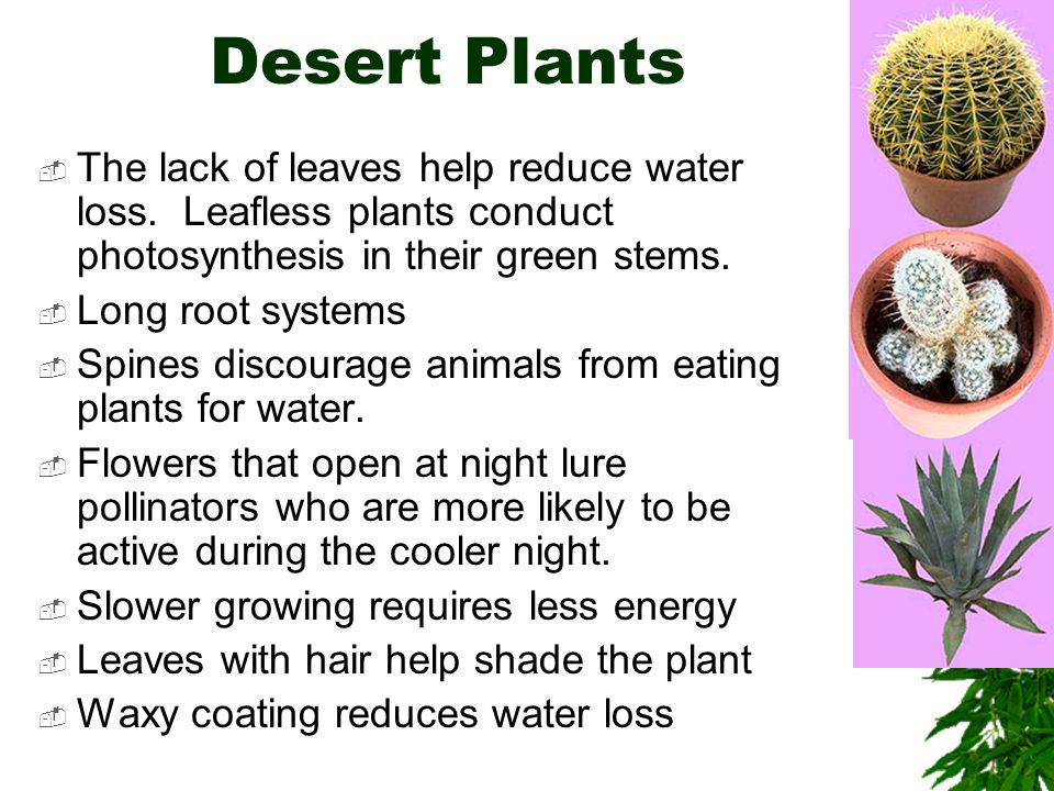 Desert Plants The lack of leaves help reduce water loss. Leafless plants conduct photosynthesis in their green stems.