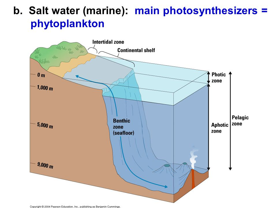 b. Salt water (marine): main photosynthesizers = phytoplankton