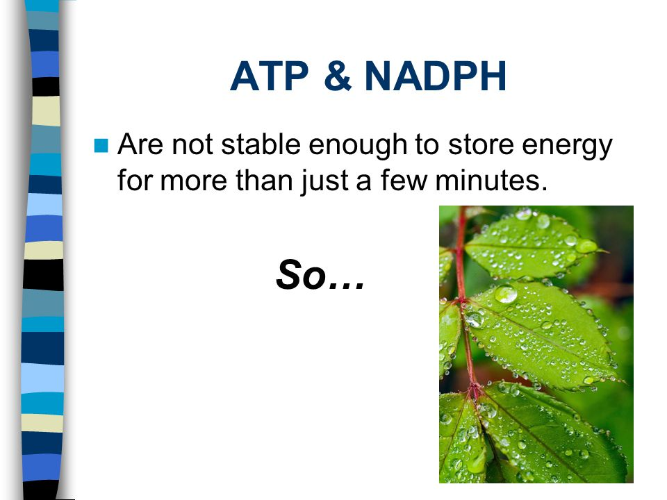 ATP & NADPH Are not stable enough to store energy for more than just a few minutes. So…