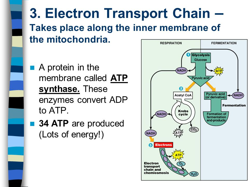 3. Electron Transport Chain – Takes place along the inner membrane of the mitochondria.