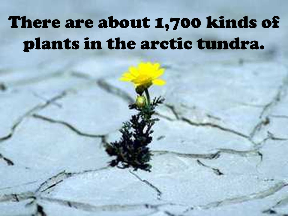 There are about 1,700 kinds of plants in the arctic tundra.