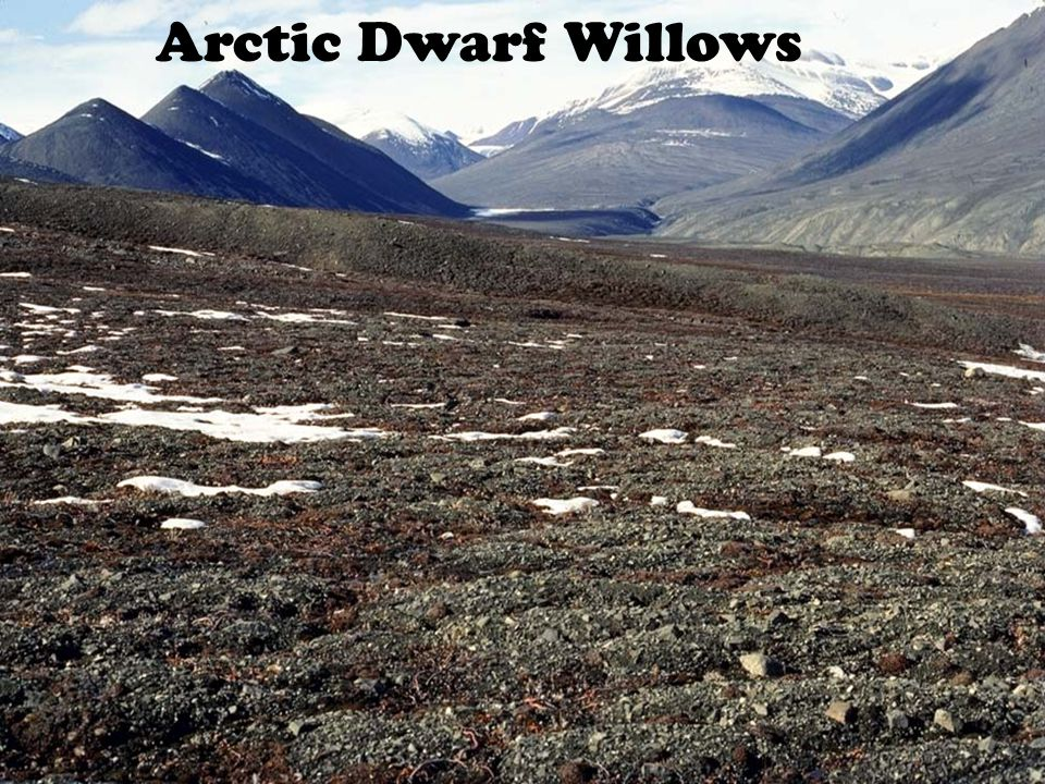 Arctic Dwarf Willows