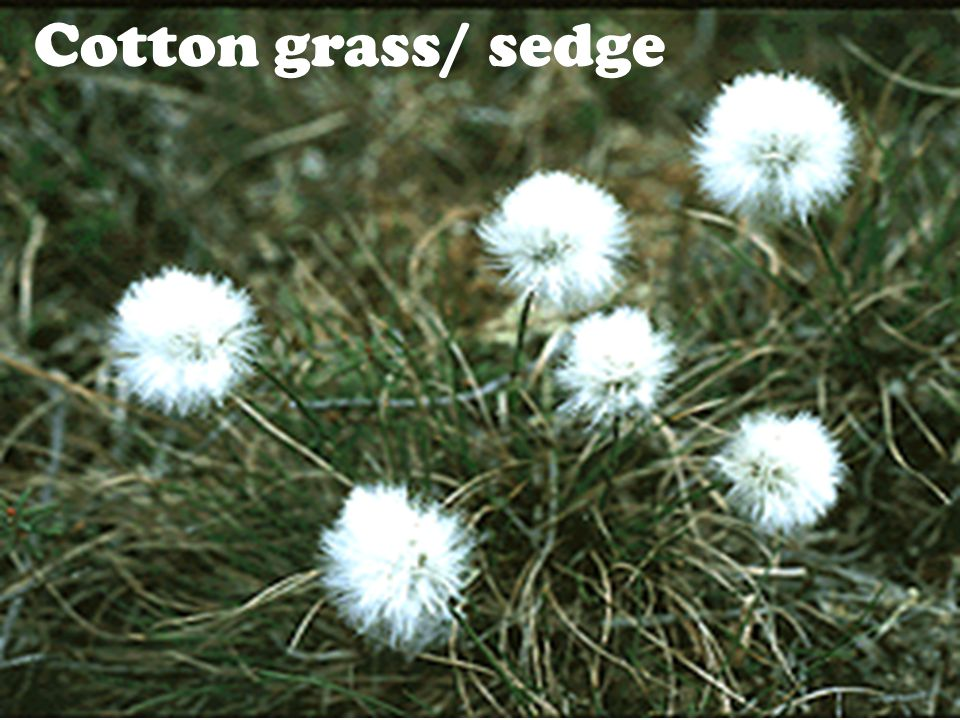 Cotton grass/ sedge