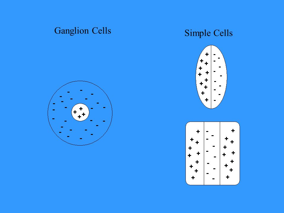 Ganglion Cells Simple Cells