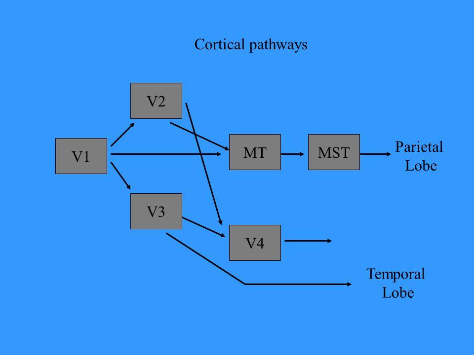 Cortical pathways V2 MT MST Parietal Lobe V1 V3 V4 Temporal Lobe