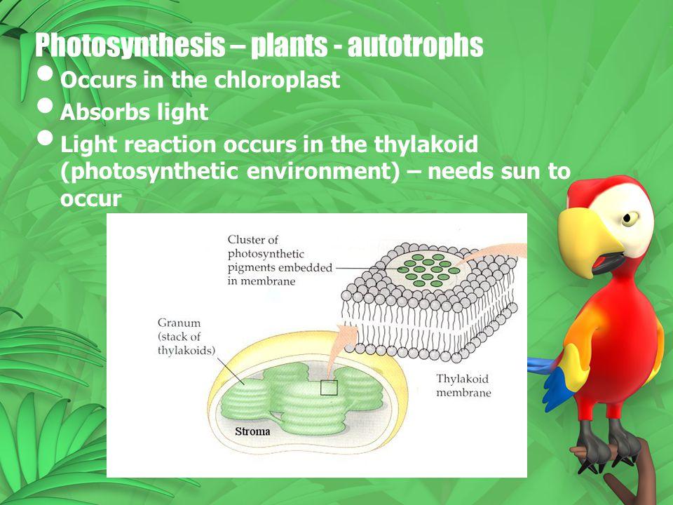 Photosynthesis – plants - autotrophs