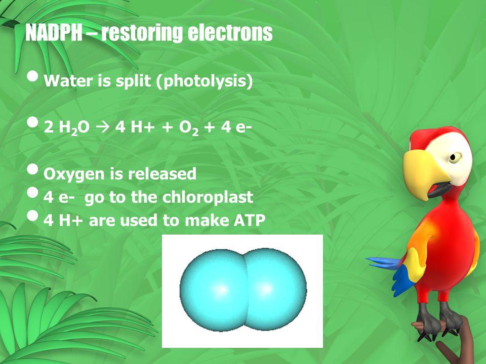 NADPH – restoring electrons