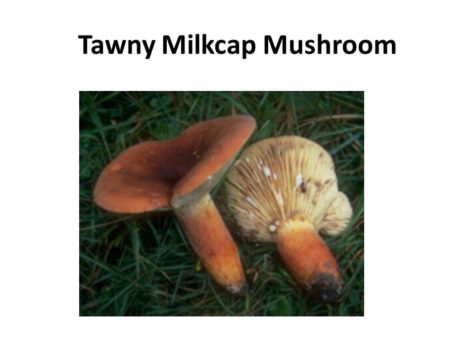 Tawny Milkcap Mushroom