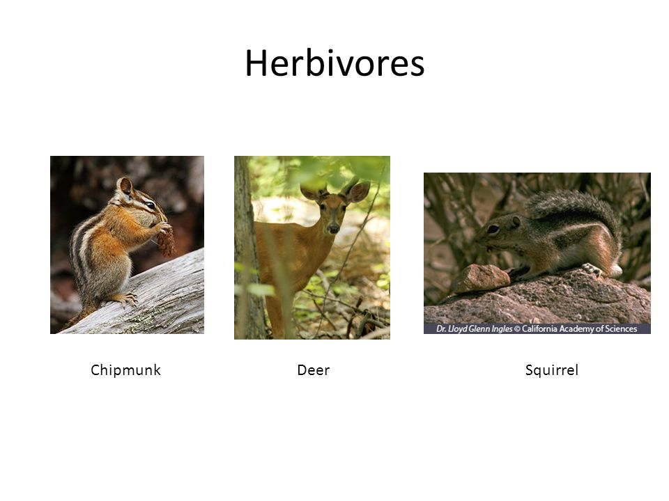 Herbivores Chipmunk Deer Squirrel