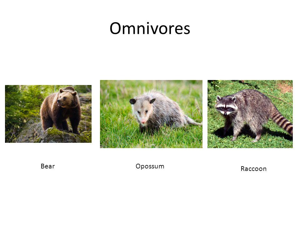 Omnivores Bear Opossum Raccoon