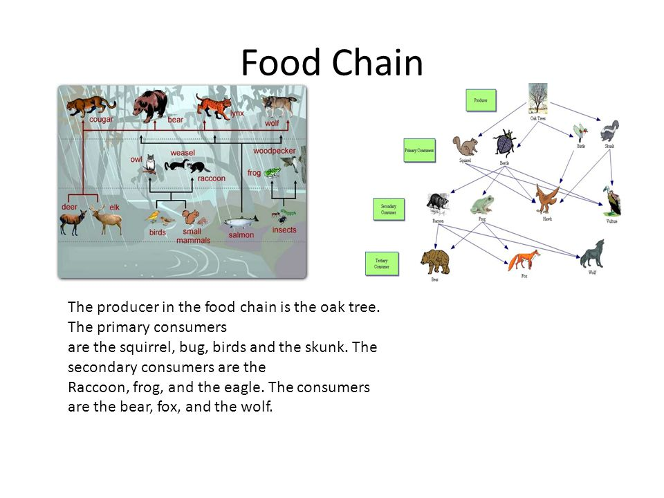 Food Chain The producer in the food chain is the oak tree. The primary consumers.