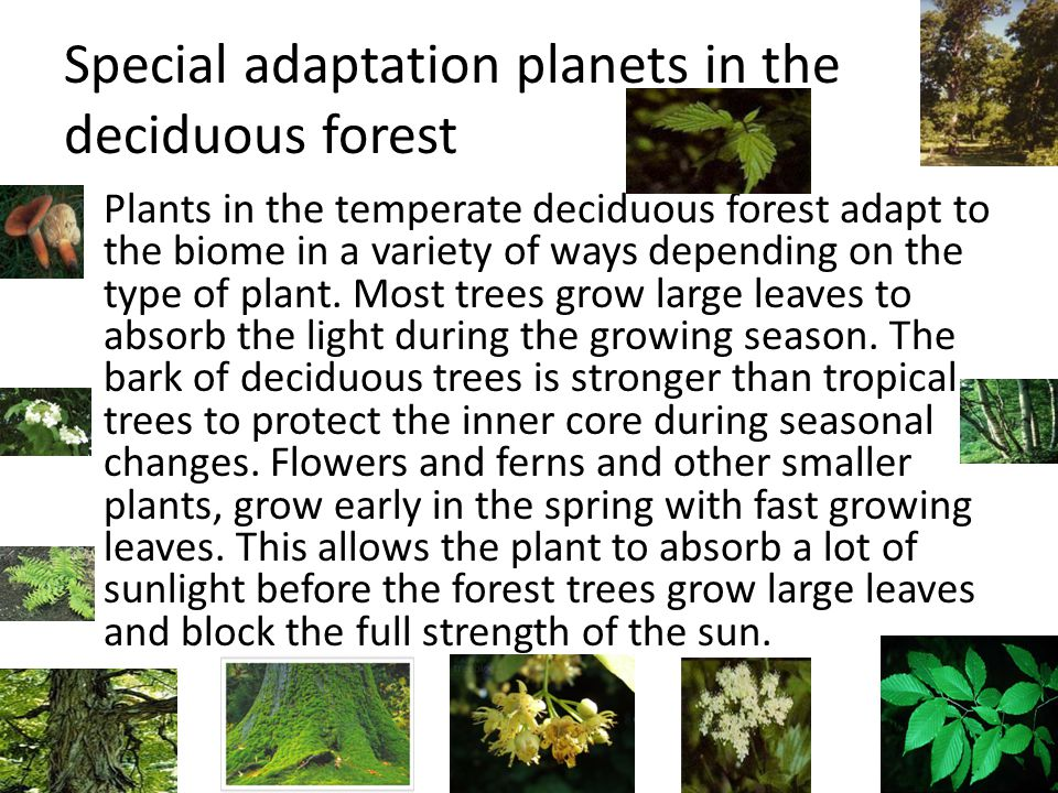 Special adaptation planets in the deciduous forest